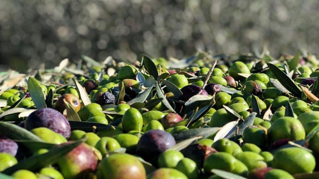 diversi gradi di maturazione delle olive